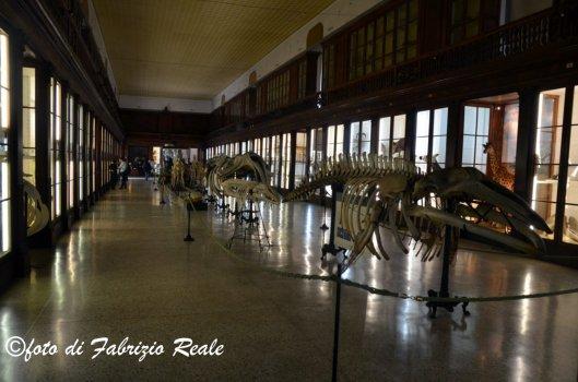 museo di zoologia di Napoli balene